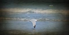 (317/17) De vuelta a casa (Pablo Arias) Tags: pabloarias photoshop photomatix nxd españa agua water mar sea mediterráneo gaviota ave lamanga murcia comunidadmurciana