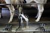 pawu041 (Otwarte Klatki) Tags: krowa krowy mleko zwierzęta cielak ferma andrzej skowron