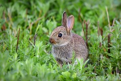 Young wild Rabbit 6386(550D) (wildlifetog) Tags: wild wildlifeeurope wildlife young ramsarsite rabbit herseynaturereserve southeast seaview isleofwight uk mbiow martin blackmore britishisles britain england european eos550d nature lapin