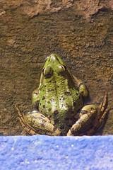 space frog on launch pad (diminoc) Tags: frog pond blue green cute morocco marrakech jardinmajorelle macro closeup nature animal amphibian minimalist