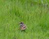 Killdeer-8074 (chrisclark39) Tags: turtlepond spring