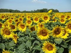 Campo di girasoli (Eli.b.) Tags: estate summer etè girasoli campo colori sunflower girasol giallo campagna sommer fiori flowers fleurs paesaggio yellow