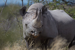 Black Rhinoceros-0288 (Diceros bicornis) (dennis.zaebst) Tags: etosha namibia africa rhinoceros rhino blackrhino animal wild outdoor naturethroughthelens sunrays5