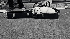 IMG_0847-on2-169a (KitePhotography) Tags: negativespace madison wisconsin wi canon eos sl1 rebel outside sidewalk dog canine guitar case tamron tamron16300 tamronaf16300mmf3563diiivcpzdmacro tamronlens statest outdoor blackwhite blackandwhite bw