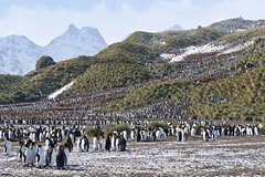To continue my celebration of April 25th being World Penguin day here is the magnificent sight of literally thousands of King Penguins on the beach and hills at Salisbury Plain in South Georgia. www.flickr.com/photos/124763084@N04/albums/72157671719374405 (brads-photography) Tags: instagramapp square squareformat iphoneography uploaded:by=instagram aptenodytes patagonicus colony ice king penguins numerous salisbury plain snow south georgia standing wildlife outdoor bird animal