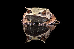 Malaysian Leaf Frog, CaptiveLight, Bournemouth, UK (rmk2112rmk) Tags: malaysianleaffrog captivelight leaffrog frog hornedfrog megophrys nasuta amphibian herps macro