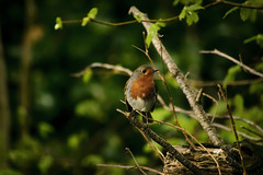Robin (Erithacus rubecula) (Mark Photography 2017) Tags: angle animal animalia background beast bird birding birdwatching blurred body bokeh branch chats close closeup composition crafts detail earth effect erithacus european exterior feather flycatchers focus forest format formation frame framing freeze front geological hobbies horizontal interests land landscape leaf life light motion natural nature old orientation outdoor passeriformes photo photography plant profile robin rubecula setting shadow style tree trunk up vegetation view wild wildlife woods woodslands worldartscraftsphotographysettingexterioroutdoorphotogenrestyletypewildlifenatureorientationlandscapemotionfreezeframelightingnaturallightframingcompositiondetailcloseupcloseupformathorizontalfocusbackgroundblurredeffectsh