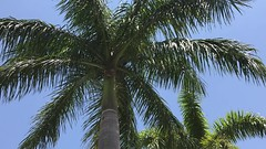 Swaying in a Gentle Breeze (soniaadammurray - On & Off) Tags: video trees palms sky breeze sway beauty nature