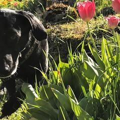 #dog #hund #dogstagram #dogsofinstgram #flowers #spring #sunday #sundayfunday #naturelovers #blacklab (Thomas Pleil) Tags: dog hund dogstagram dogsofinstgram flowers spring sunday sundayfunday naturelovers blacklab