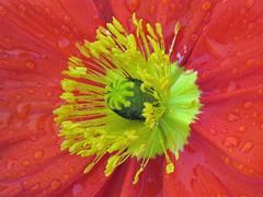 Au Parc de la Tête d'Or (Lyon) (michele 69600) Tags: fleur flower parcdelatêtedor lyon départementdurhône france europe rouge red jaune yellow macro couleur color