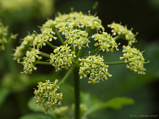 Compound umbel