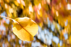panning with beautiful leaves back in fall. (theHaodoudo) Tags: tree nature leaves leaf color yellow orange panning photo photography blur 树 树叶 叶子 黄色 自然 橘黄色