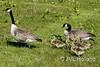 Gans 170420-251-C2 ©JVL.Holland (JVL.Holland John & Vera) Tags: gans goose canadesegans grotecanadesegans canadagoose canadagans anseranser animal vogel bird netherlands nederland holland europe canon jvlholland