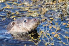 European Otter (Lutra lutra) 02 May-17-20189 (tim stenton www.TimtheWhale.com) Tags: commonotter eurasianotter europeanotter islands landmammal lutralutra lutrinae mainland mammal mustelid notcaptive otter scotland shetland shetlandisles wild