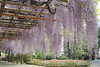 Japanese Wisteria(Fuji-no-Ushijima) (seiji2012) Tags: 藤 春日部市 牛島 hdr wistaria wisteria kasukabe