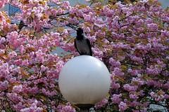 Balance-Akt (Sockenhummel) Tags: berlin baumblüte allee bäume trees hanami kirschbäme volkspark durlacherstrase fuji x30 fujifilm finepix kirschbaumallee mauerweg grenzstreifen mauer grenze wiedervereinigung sakura higankirsche sakuracampaign floweringseason blossomtime treeblossom kirschblüten fujix30 baum blüte garten landschaft park zierkirschen
