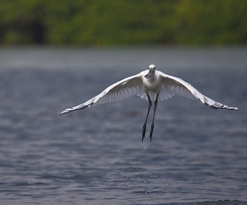 Spoonbills are Go