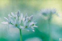 wild garlic (gregor H) Tags: feldkirch vorarlberg österreich at flores nature light new