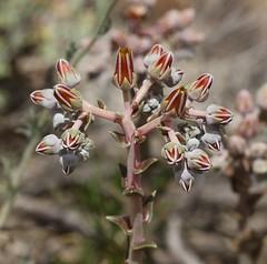 Dudleya sp. (tombenson76) Tags: crowdercanyon dudleya
