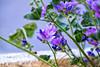 _DSF4992 (ad_n61) Tags: mayofujifilm xt1 fujinon super ebc xf 18135mm 13556 ois wr zaragoza flores amarillo naranja lolita morado violeta verde azul tierra primavera españa