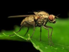 Root-Maggot Fly (treegrow) Tags: washingtondc rockcreekpark lifeonearth nature canonpowershotsx40hs raynoxdcr250 arthropoda insect diptera fly anthomyiidae delia taxonomy:genus=delia