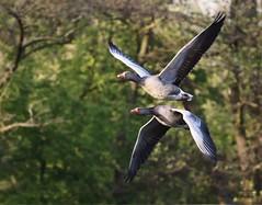 Graugänse/Grey goose (babsbaron) Tags: nature tiere animals vogel vögel birds gans graugans gänse graugänse goose grey teich see lake