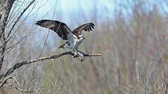 Balbuzard pêcheur_070A3728 (d.jauvin) Tags: québec rapace aigle balbuzard balbuzardpêcheur osprey pandionhaliaetus