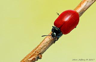 A Red Poplar Leaf Beetle - Chrysomela populi (Chrysomelidae)