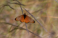 Only a butterfly (leendert3) Tags: windowacraearooibokkierooitjienymphalidae ngc npc sunrays5 leonmolenaar wildlife nature southafrica butterfly