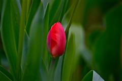 Waking up (christinachui79) Tags: spring tulip blossom beautiful nature red photography green bokeh nikon d750