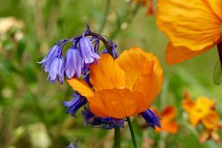 Bluebell & poppy