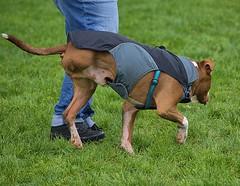 One Leg Missing (Scott 97006) Tags: dog leg canine animal coat ambulatory male amputee