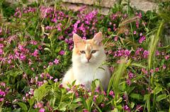 Un fior di gatto (Il cantore) Tags: gatto cat bianco white verde green fiori flowers aiuola flowerbed erba grass solo alone rosa pink