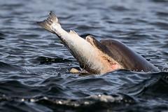 Bottlenose Dolphin (Ginger Snaps Photography) Tags: dolphin bottlenose sealife highland scotland chanonry marine fish fishing salmon teeth mouthful morayfirth nature wildandfree wild animal