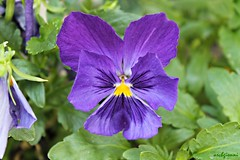 violet over green (archgionni) Tags: plants flowers garden natura nature petali petals viola violet foglie leaves verde green macro christiangroup picturesque