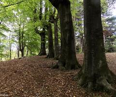DSCN7902nel bosco carpini roccolo (dina.elle) Tags: carpini bosco alberi sottobosco rami fresco relax pace tranquillità aria fresca