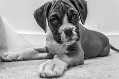 black & white (Felix Vila) Tags: dog puppy boxer cachorro perro
