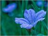 Purple Flower (Ingmar Vermolen) Tags: macroflowerlovers save earth purple spring bokeh