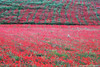 I Colori del Paradiso (archisal) Tags: nikon70200f4vr nikon d750 paesaggio landscape fiori flowers sicilia sicily italia italy europe poppies parcodeimontisicani naturereserve rosso red papaveri poppiesfield