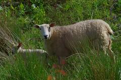 1398-31L (Lozarithm) Tags: pentax zoom k50 55300 hdpda55300mmf458edwr hillspools sheep