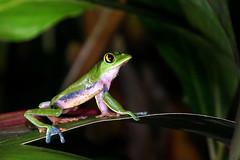 Agalychnis annae (Bigeyesworld.com) Tags: costarica centralamerica hylids frogs treefrog leaffrog agalychnis annae