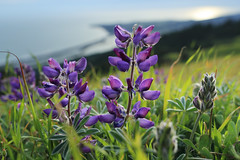 Lupines on Bolinas Ridge (fksr) Tags: lupine flower bolinasridge mounttamalpais evening pacificocean marincounty wildflowers blue california