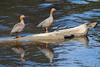 Canquenes Colorados (ik_kil) Tags: canquéncolorado ruddyheadedgoose patagonia chloephagarubidiceps riosanjuan especieenpeligro estrechodemagallanes regióndemagallanes goose avesdechile birds chile