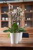 Artstone Claire orchidee (IvylineGB) Tags: buitengoed laren potten tersteegesfeer