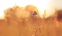 Summer (Amir Shayani) Tags: meadow butterfly summer sunset sky sunrise beauty beach sun light bokeh beautiful soft softlight