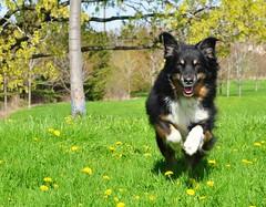 18/52 weeks for Maddy (ginam6p) Tags: green grass aussie australianshepherd toronto 52weeksfordogs 2017 maddy