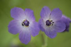 Blue Fiesta Flower (Dawn Endico) Tags: bluefiestaflower california montereycounty pholistomaauritum pinnaclesnationalpark flower plant wildflower