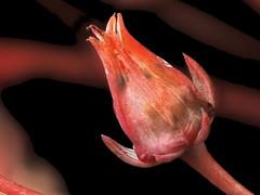 2017-04-22-14.19.38 ZS PMax Echeveria sp-1—DxO (John Rusk) Tags: dxokodakporta160vcpreset olympuspenepl7body canonfd100mmmacrolens iso100 fstopf4 shutterspeed140s stackof16images zerenestacker taxonomy:kingdom=plantae plantae taxonomy:clade=tracheophyta tracheophyta taxonomy:phylum=magnoliophyta magnoliophyta taxonomy:class=magnoliopsida magnoliopsida taxonomy:order=saxifragales saxifragales taxonomy:family=crassulaceae crassulaceae taxonomy:genus=echeveria echeveria conchitas taxonomy:common=conchitas