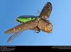 Unidentified Jewel Beetle (Buprestidae) (insectsunlocked) Tags: coleoptera buprestidae jewelbeetle beetle