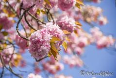 SpRiNg (melimage) Tags: spring flower rose blue fleurs fleur printemps ciel nikon d750